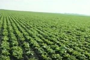 Клімат у Заліщиках дозволяє вирощувати різну садовину