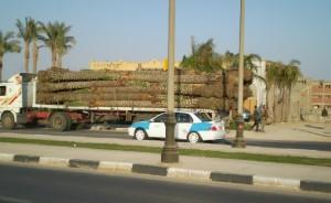 Фінікові пальми везуть для посадки