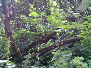 Павук-вовк у лісі біля Одаєва