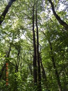 Черешні в лісі Борисів біля Підлужжя