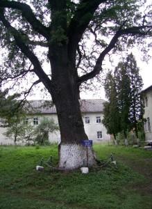 Дуб на Маринопольському замчищі, біля палаців - напис свідчить про вік дуба - 600 років і про те, що під цим деревом відпочивав Симон Петлюра
