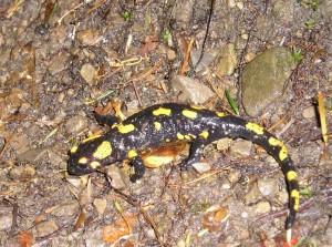 Карпатська саламандра
