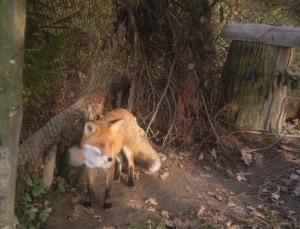 Лисичка в галицькому лісництві