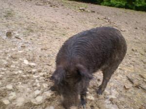 Кабан у міні-зоопарку, лісництво міста Яремче