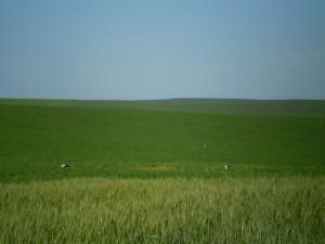 Лелеки на полі поблизу села Долина
