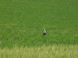 Лелека на полі біля Дністра біля села Долина Івано-Франківської області