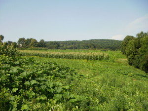 Засаджені поля в Одаєві