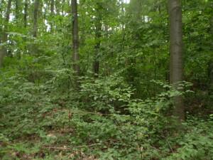 Ліс біля Нижнева