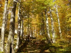 Буковий ліс у Бубнищі восени