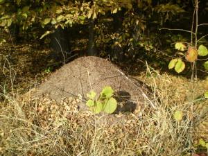 Мурашник в лісі біля села Підлужжя