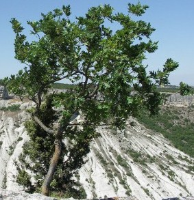 Скельний дуб