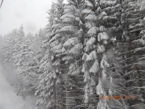 Зимові смереки в Карпатах