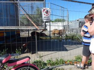 Циркові леви в Івано-Франківську