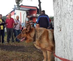 Руда вівчарка на виставці собак