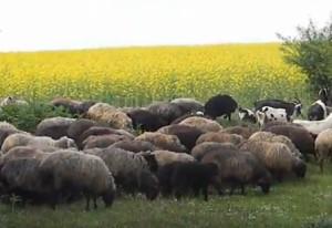 Отара овець у Шманьківцях