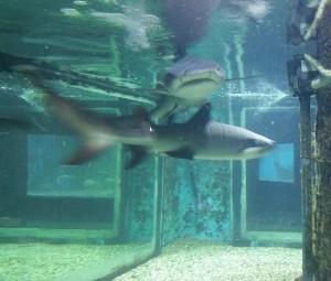 Рифові акули здебільшого можна побачити в Шармі, але і в Хургаді вони зустрічаються