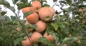 Сортовые яблони